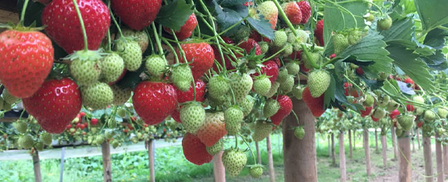 go-strawberry-picking-at-trevaskis-farm-things-to-do-when-it-rains-in-cornwall